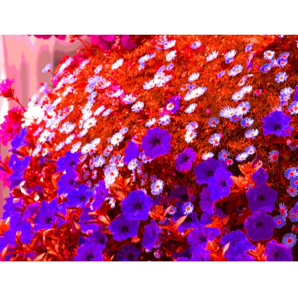 Limited Edition (10) Daisy 40x30in Canvas Print