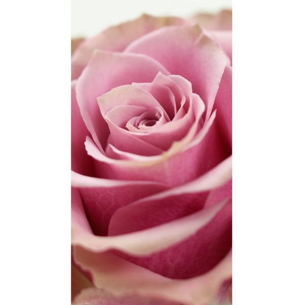 Roses Photographic Print (F_rose_004)