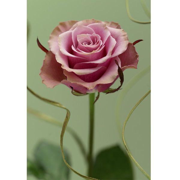 Roses Photographic Print (F_rose_008)