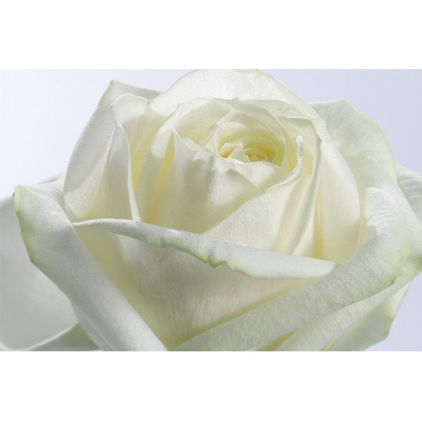 Roses Photographic Print (F_rose_010)