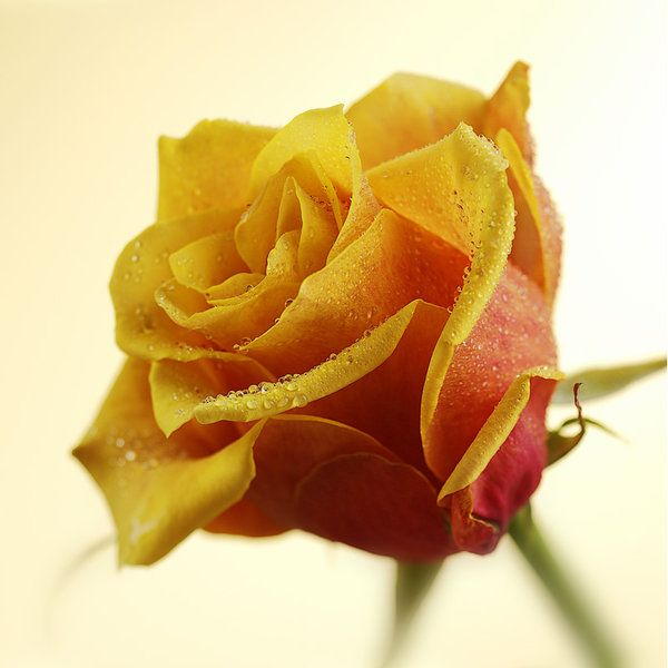 Roses Photographic Print (F_rose_014)