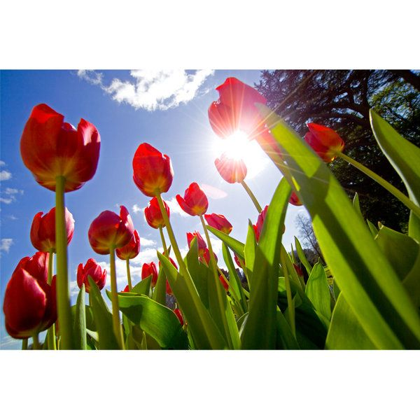 Tulips Photographic Print (F_tulip_003)